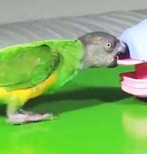 Bebek Bakıcısı Papağan