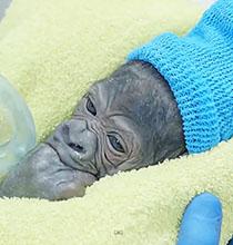 Mavi gözlü yeni doğan goril görenleri şaşırtıyor!
