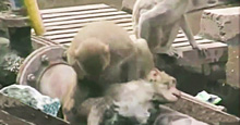 Arkadaşını Hayata Döndüren Maymun