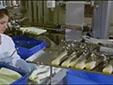 Danimarka'da Bir Yumurta Fabrikası